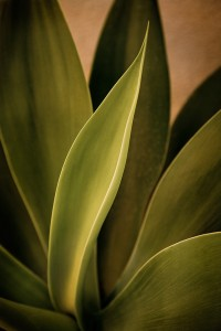 Foxtail Agave August 25, 2013-©2013 Robert Nease