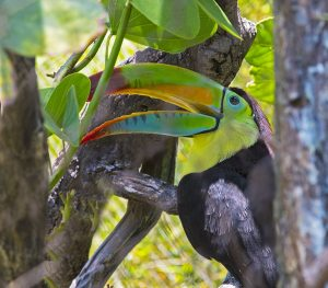 """Blue Fier """"The Hungry Toucan"""" 07/15/2016"""