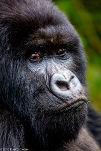 """Eliot Crowley - """"Mountain Gorilla, Rwanda"""" - 07/14/2016"""